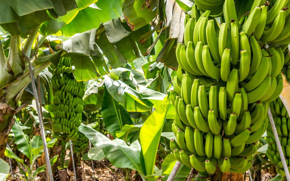 Изображение на бананово дърво върху което растат зелени банани