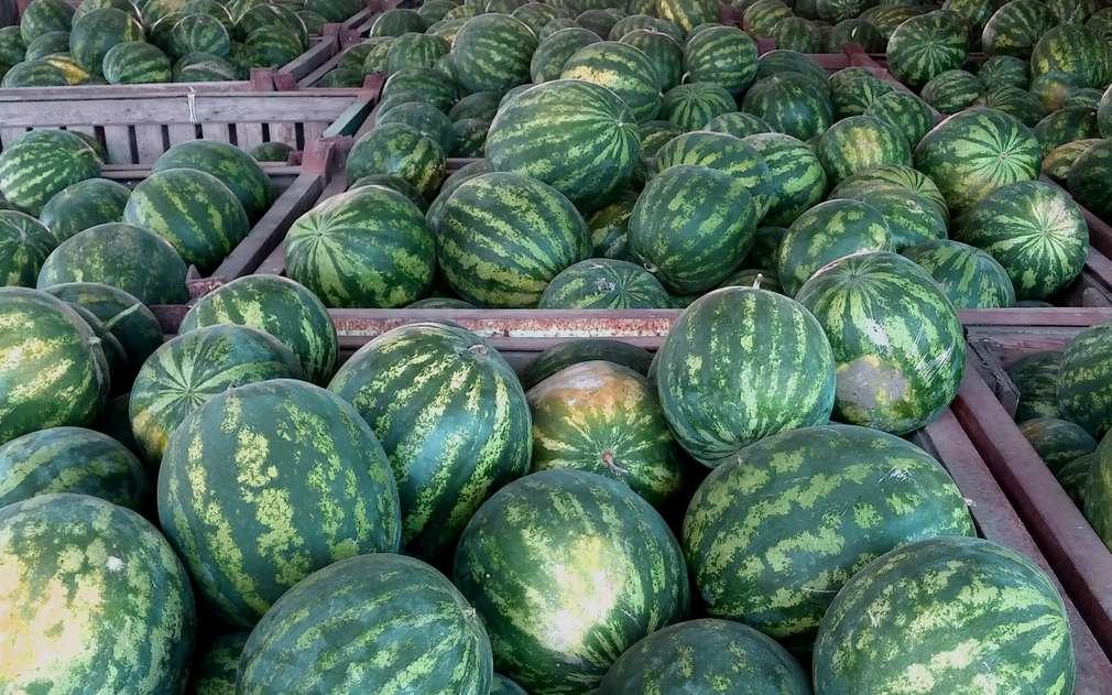 Vodní melouny se dají pěstovat i v Polabí