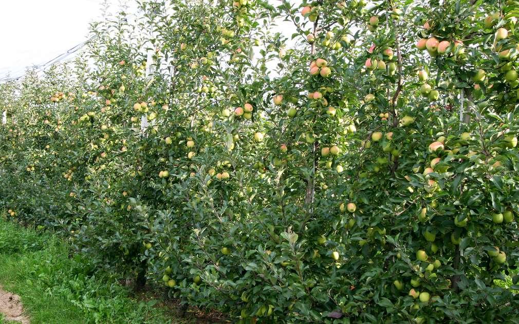 Jablečné sady v Českém ráji
