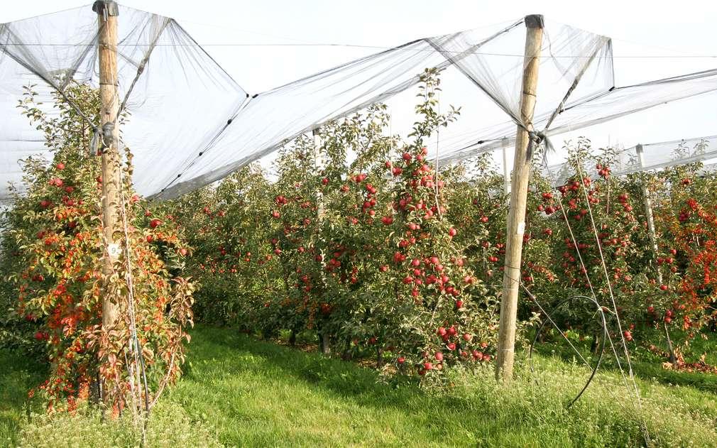 Jablíčka chrání natažené sítě