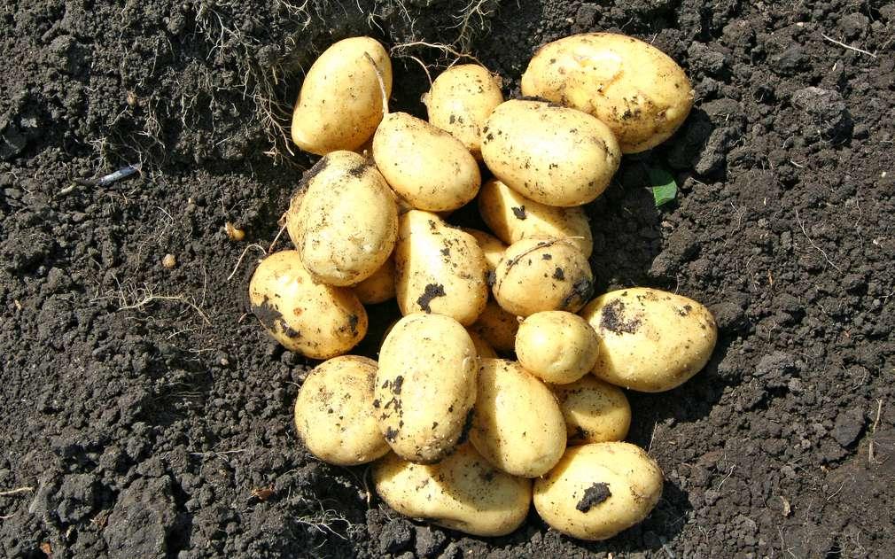 Čerstvě vykopané brambory