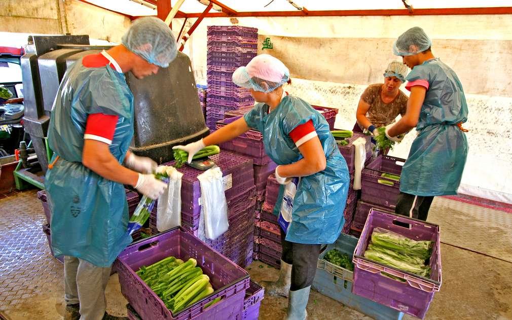 Očištěný a zabalený celer připravený na cestu do Kauflandu