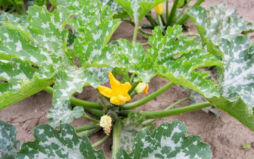 Krásné žluté květy jsou znamením úrody cuket