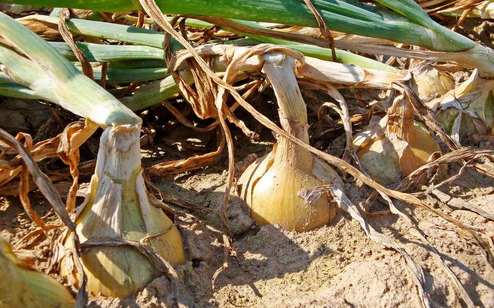 Velká zdravá cibule připravená na sklizeň