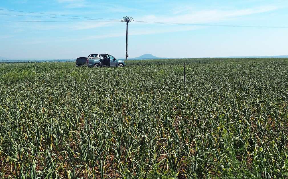 Česnekové pole ve Vítkově u Slaného