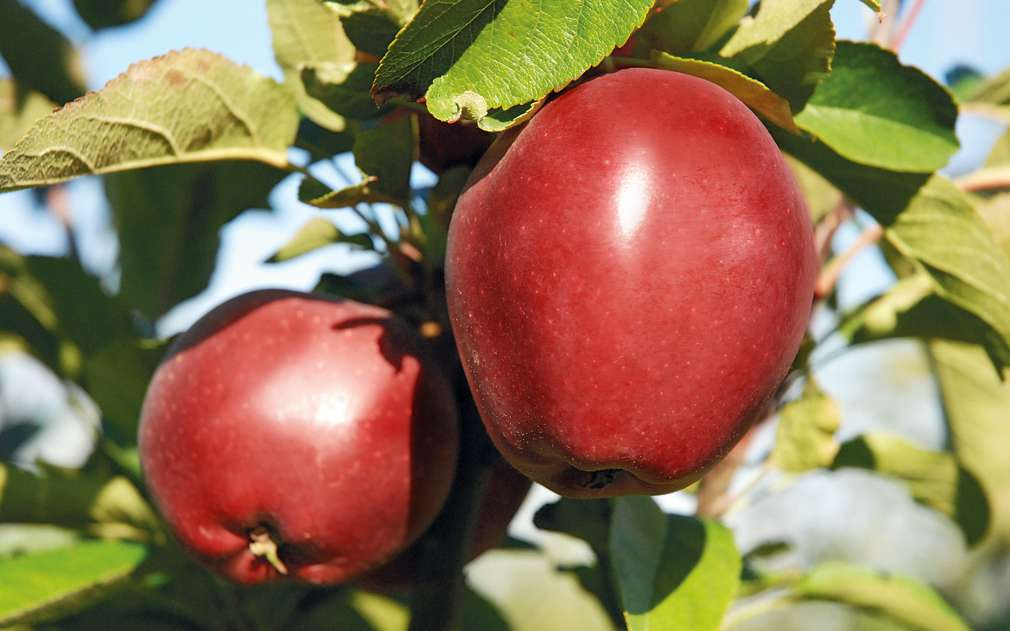 Oblíbená česká jablka Red Delicious
