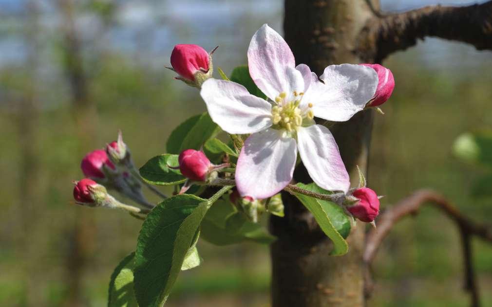 První jarní květy jabloní