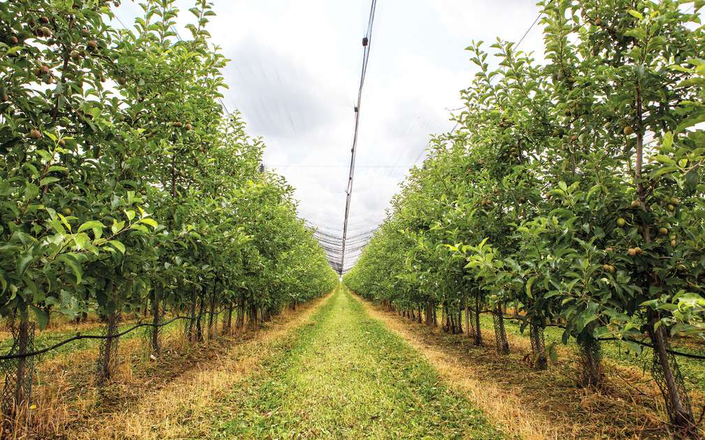 Jablečný sad Bohemia Apple