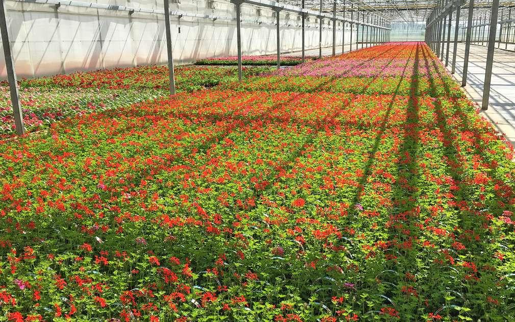 Skleníky s pelargoniemi, slunečnicemi a dalšími květinami z Polabí