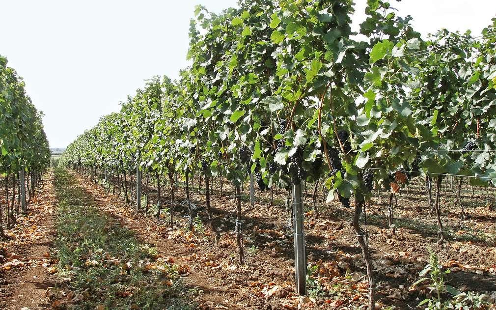 Vinohrad pana Balouna roste ve Velkých Blovicích