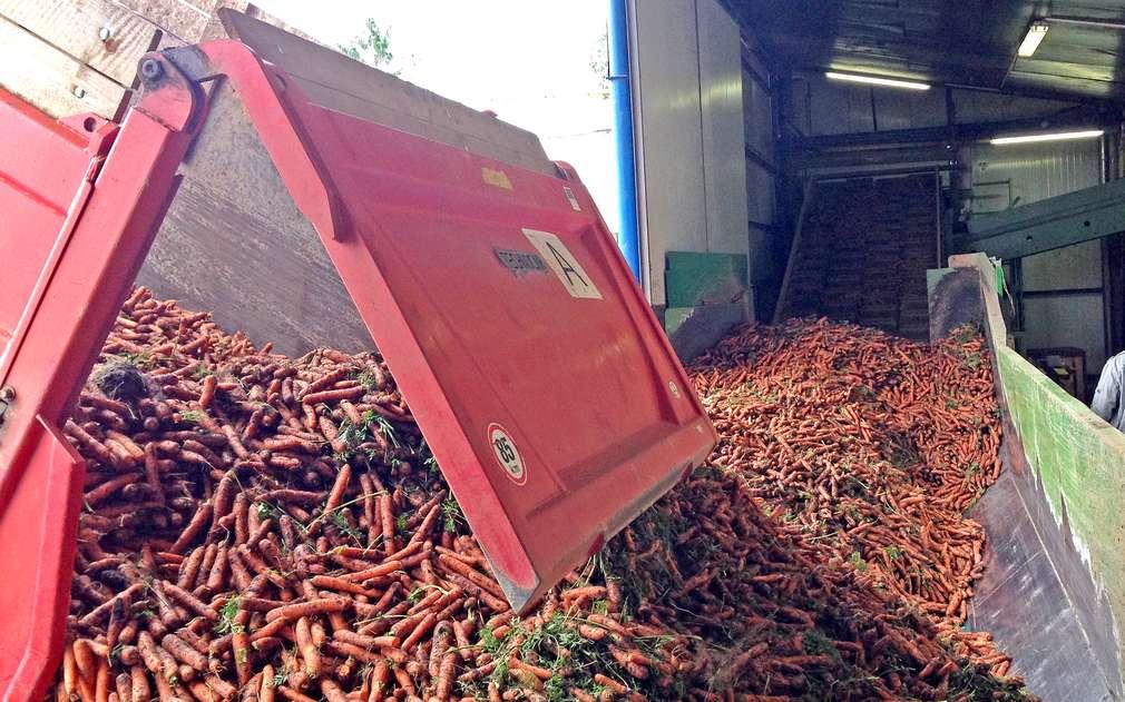 Sklizená mrkev putuje ze skladu rovnou do Kauflandu