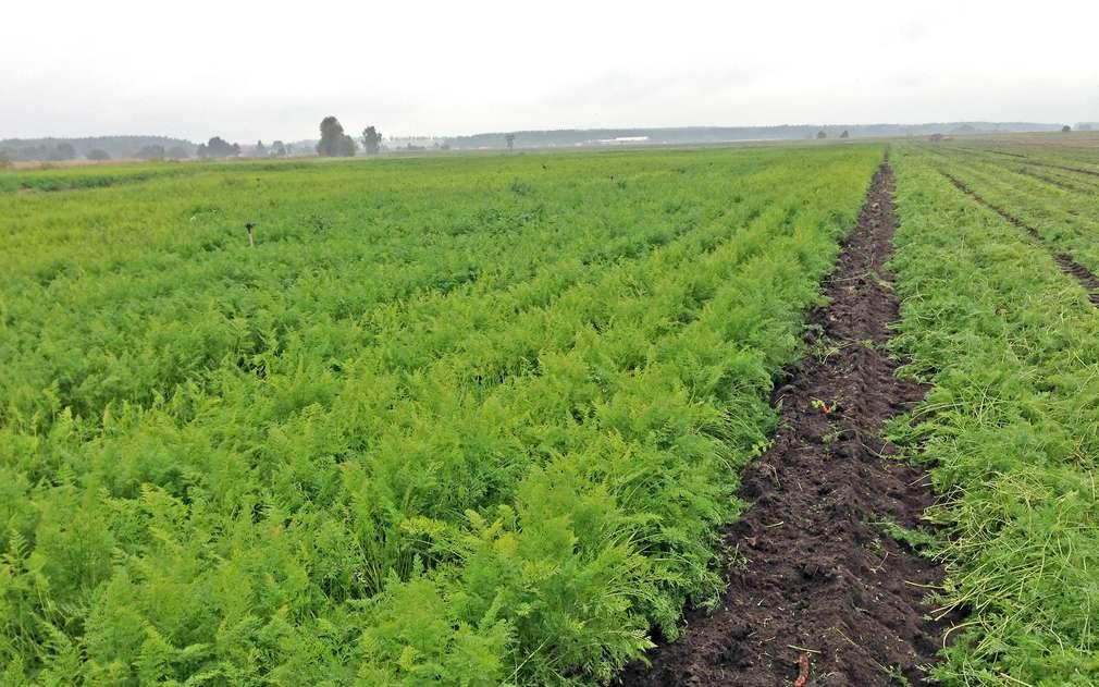 Rozlehlá pole s karotkou firmy VH Agroprodukt
