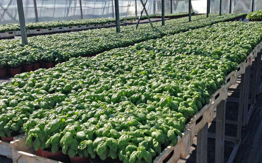Aromatická bazalka pěstovaná ve skleníkách