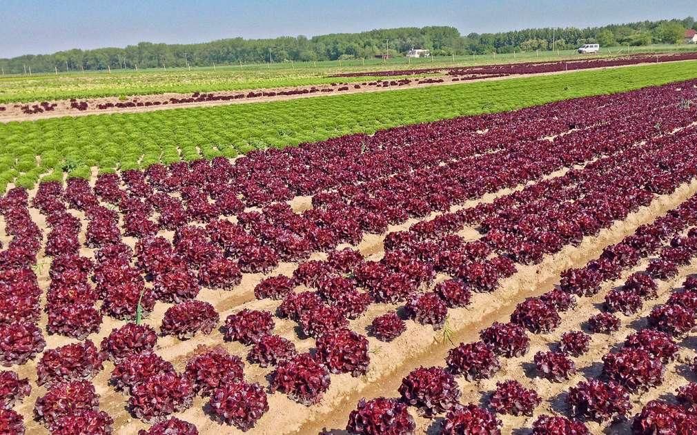 Na polích pana Špitálského najdete mnoho druhů salátů