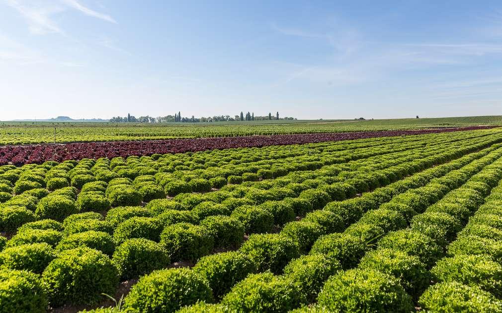 Salátová pole v Polabí