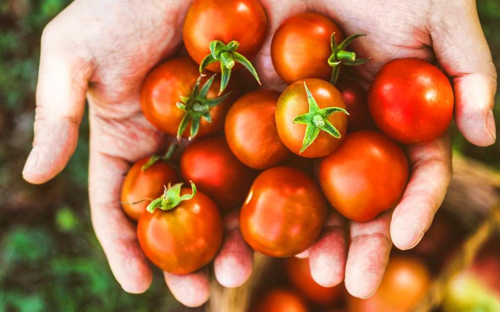 Čerstvě sklizená rajčata chutnají nejlíp