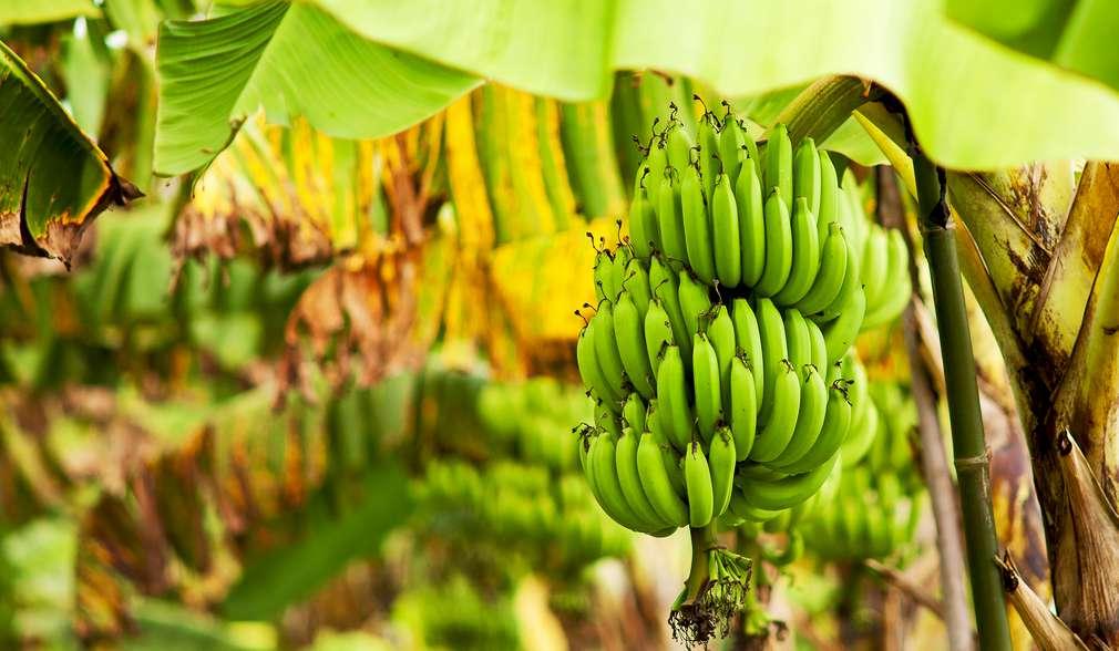 Nachhaltige Banane