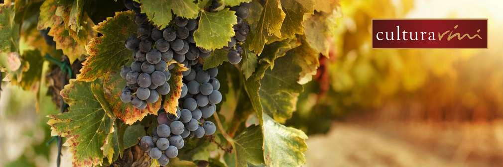Dunkle Weinrebe am Weinstock in weich godenen Hintergrund