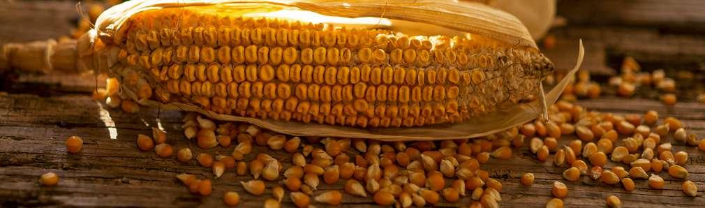 Abbildung eines Maiskolben auf einem Holztisch - Nahaufnahme