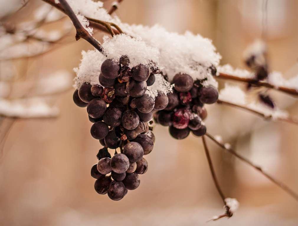 Eiswein: Süße Spezialität aus frostigen Trauben