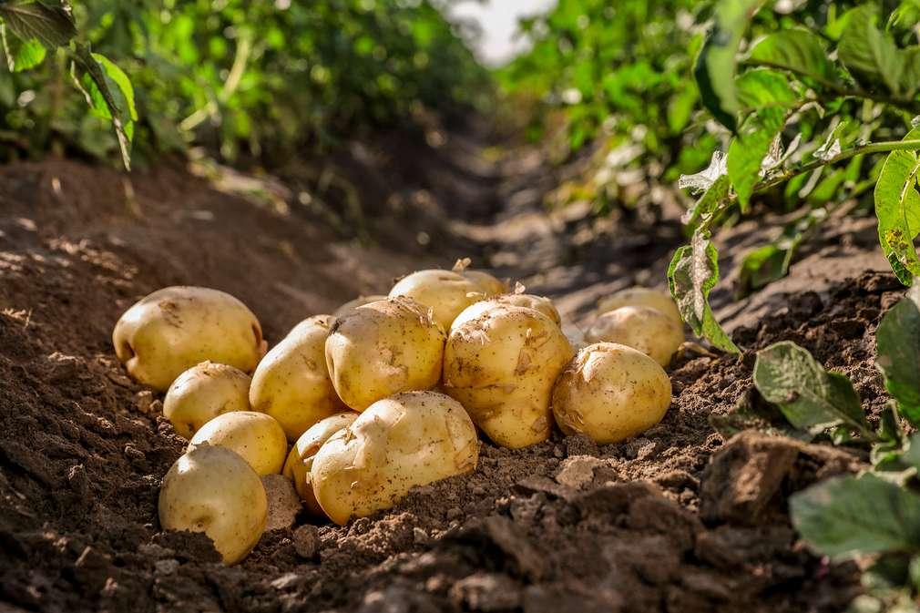 Frisch ausgegrabene Kartoffeln auf dem Feld