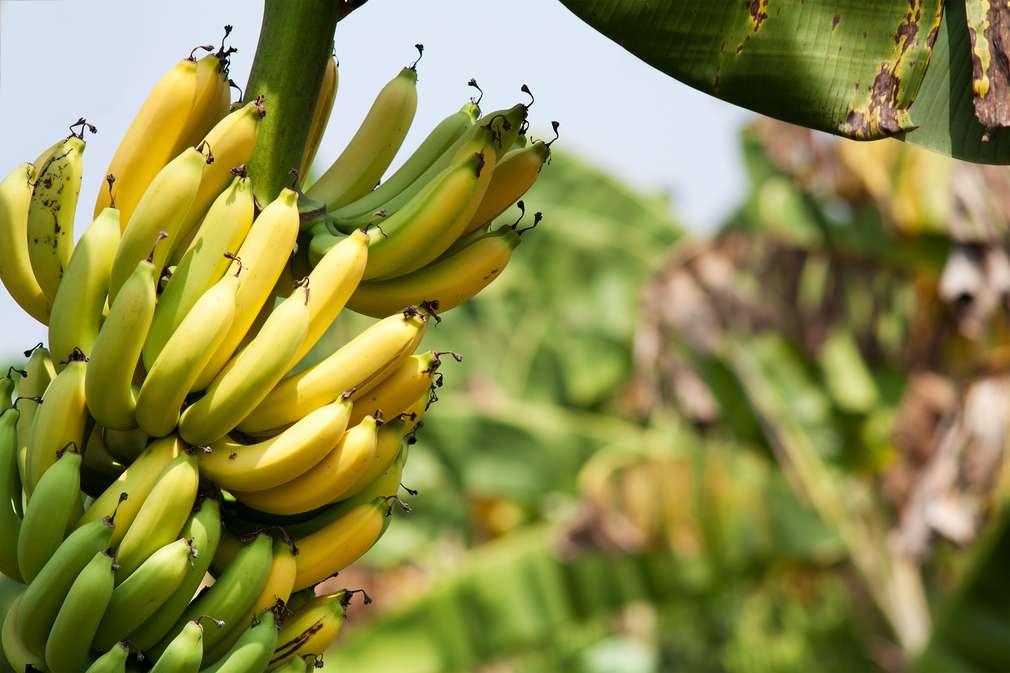 Bananen - vielseitig und exotisch