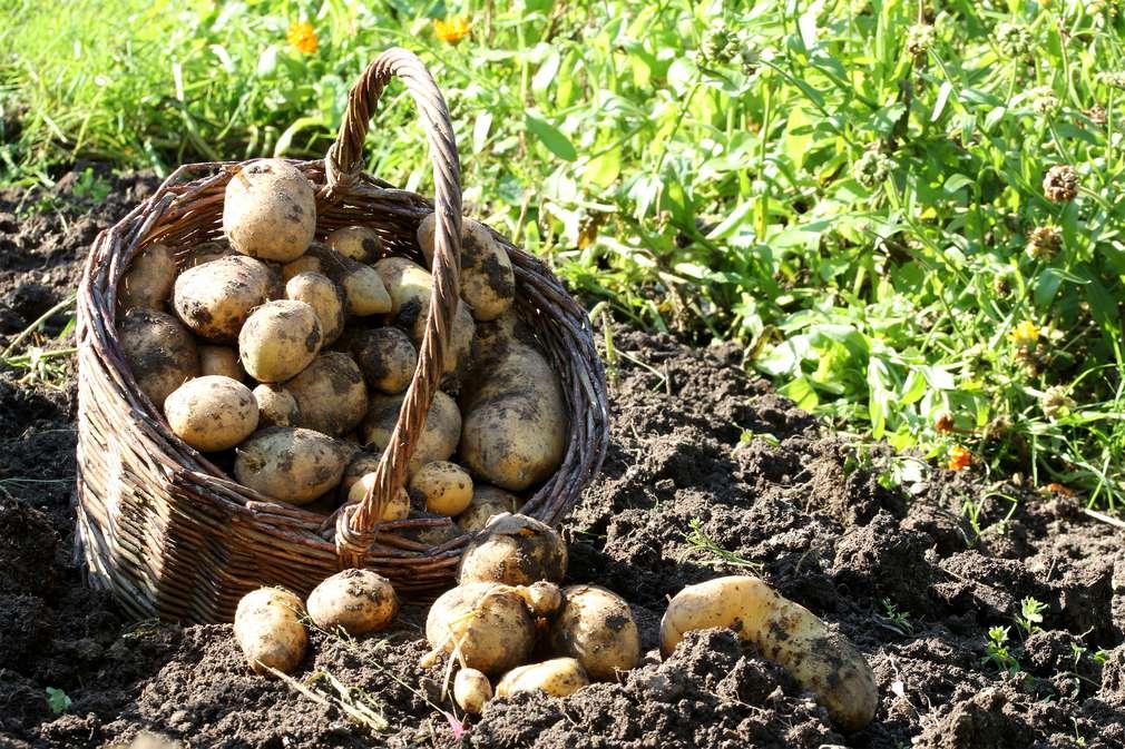 Fünf Kartoffel-Tipps für jeden Tag