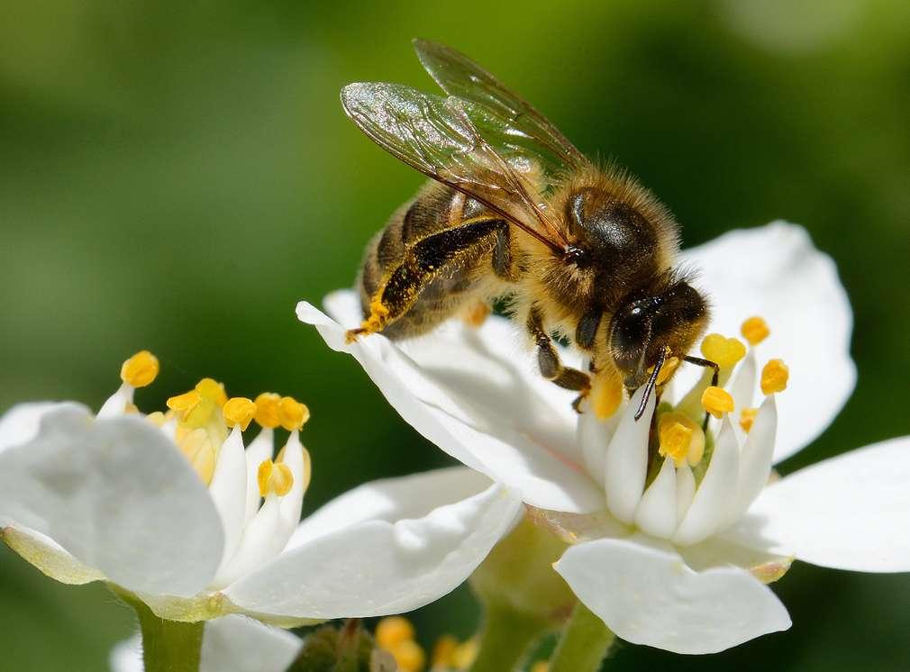 Pszczoły na kwiatach