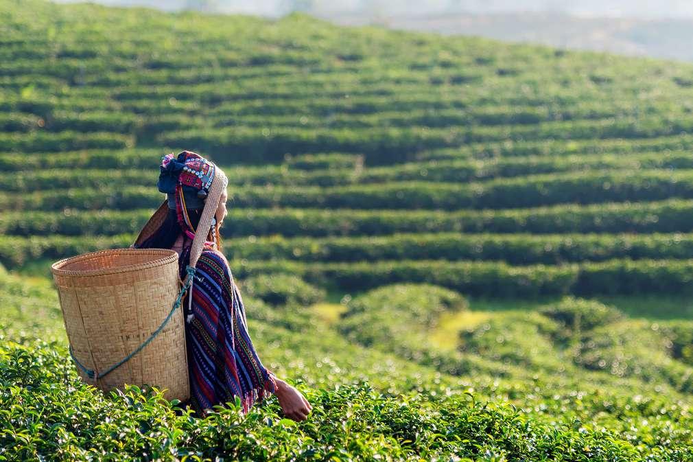 Frau pflückt Teeblätter auf Teeplantage
