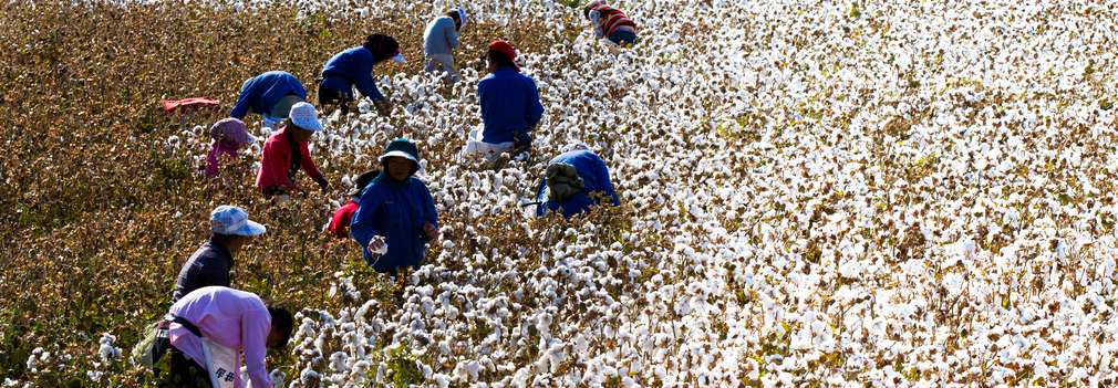 Zbieranie bavlny