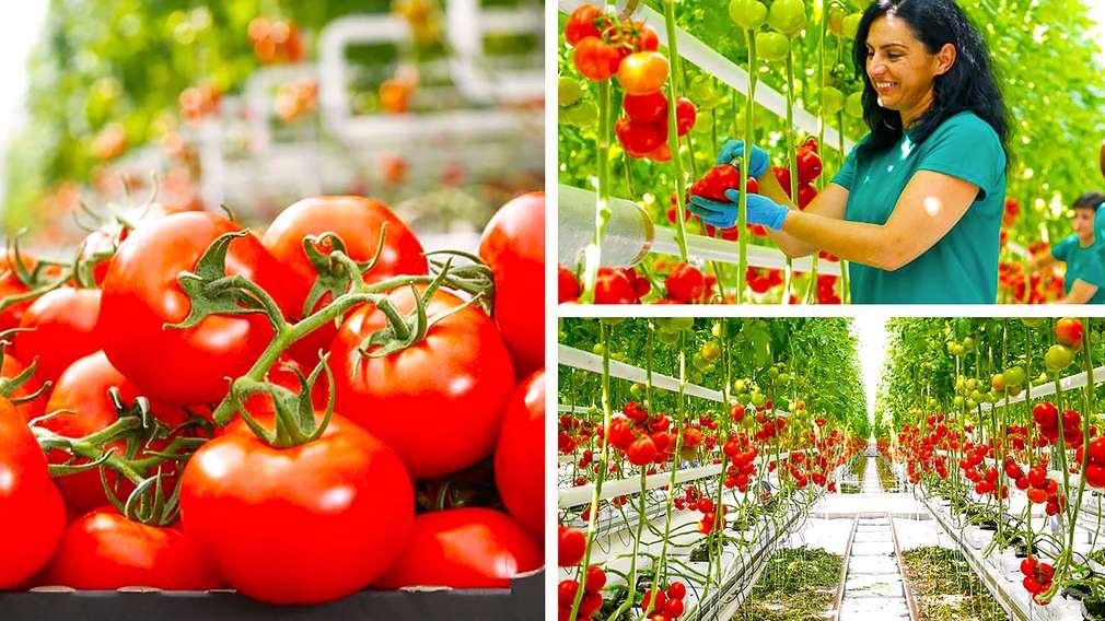 Ruris - domaća rajčica iz eko-uzgoja