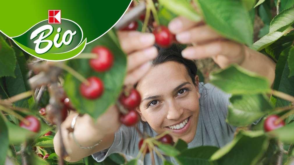 Kobieta zbiera smaczne wiśnie