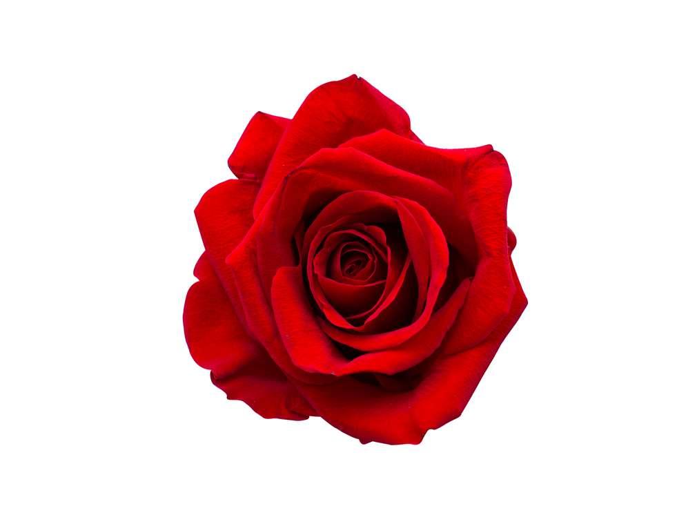 cervena-ruza