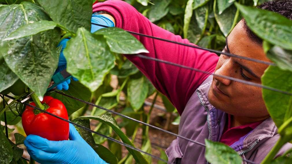 Gemüsebauer pflückt Paprika