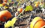Krásně oranžové dýně jsou signálem, že je tu sklizeň