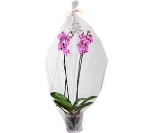 Abbildung des Angebots Schmetterlingsorchidee im Glastopf