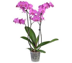 Abbildung des Angebots Schmetterlingsorchidee