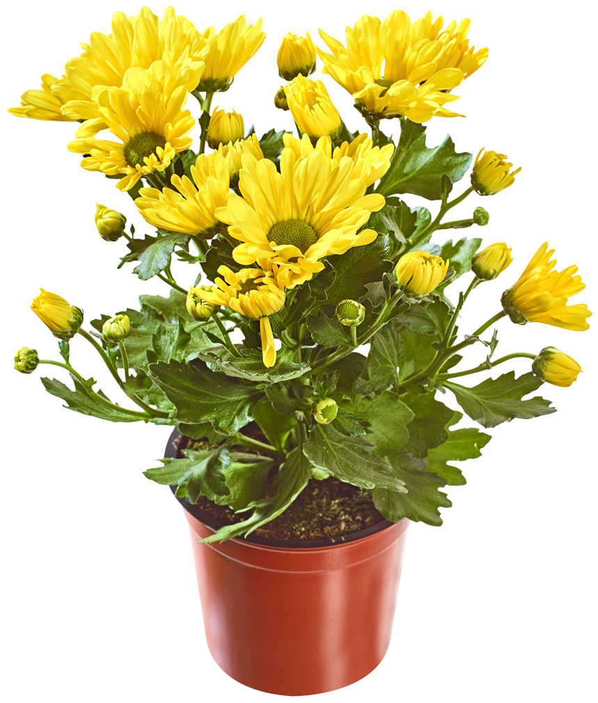 Abbildung des Angebots Chrysanthemen