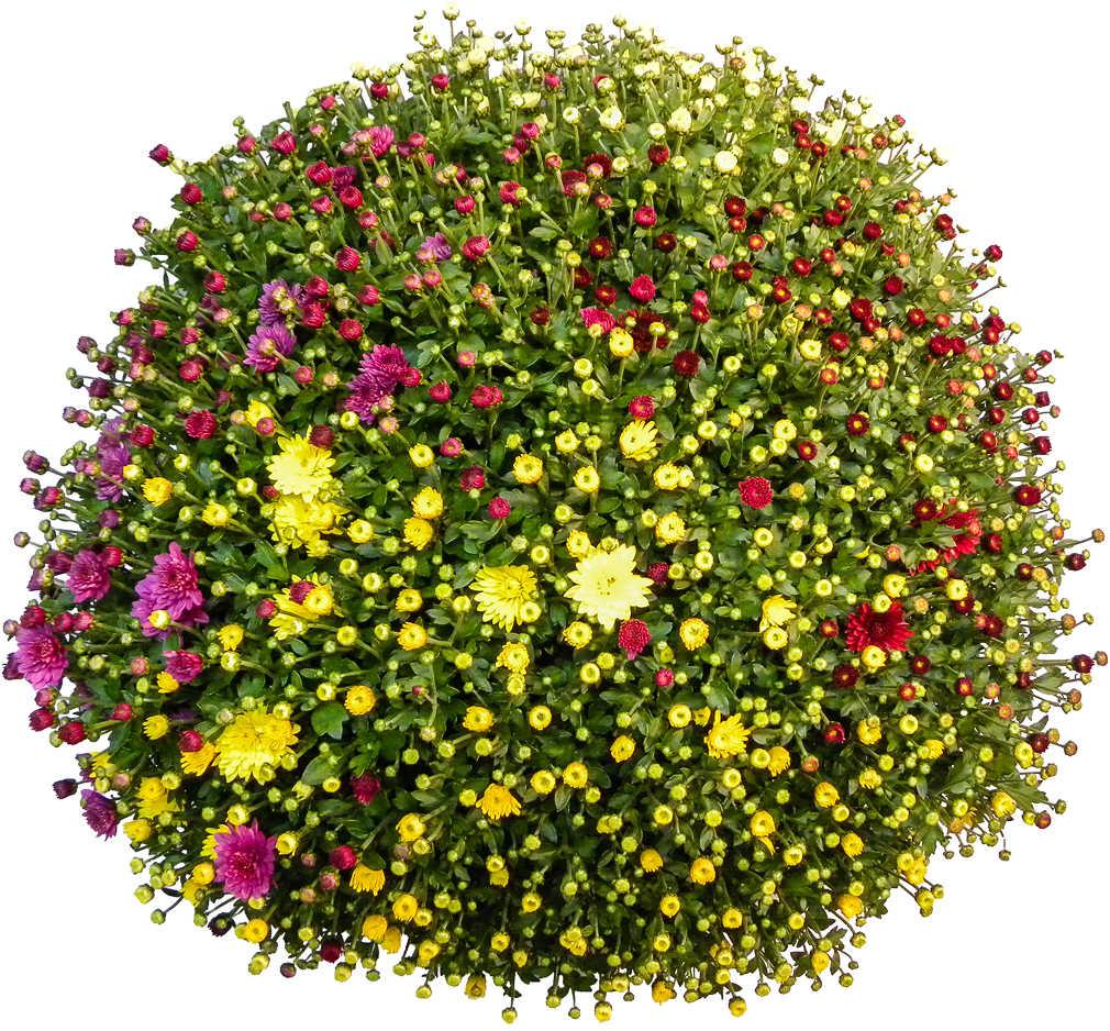 Abbildung des Angebots Chrysanthemen Quattro Busch XL
