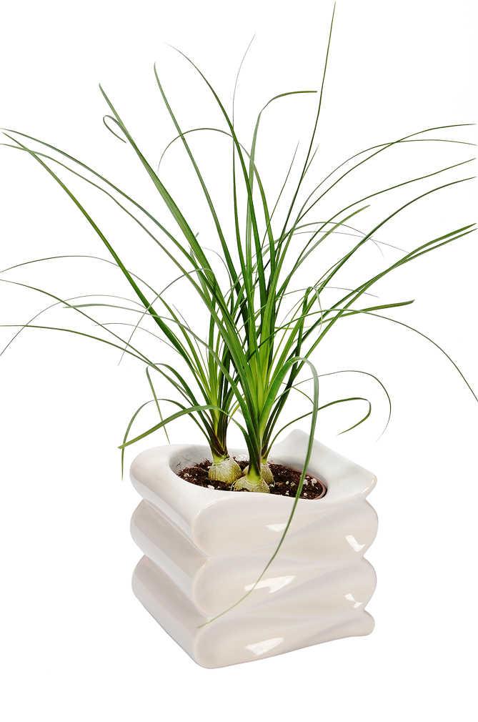 Abbildung des Angebots Grünpflanzen Besonderheiten in Keramik