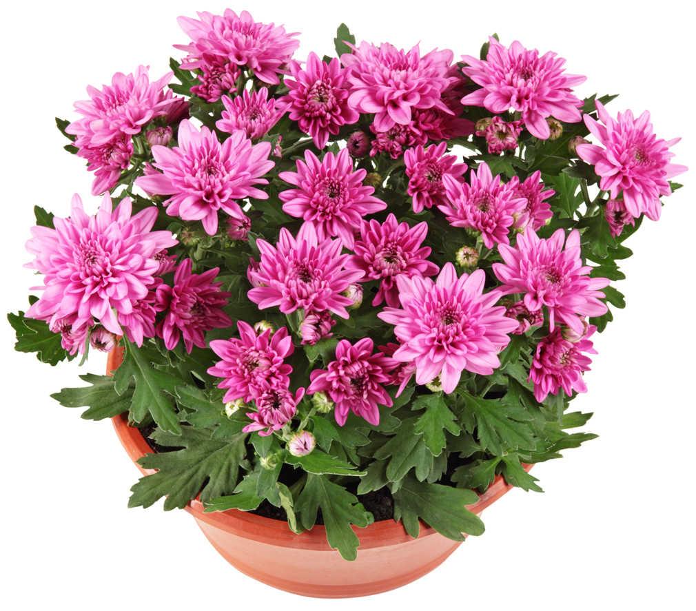 Abbildung des Angebots Chrysanthemen Schale
