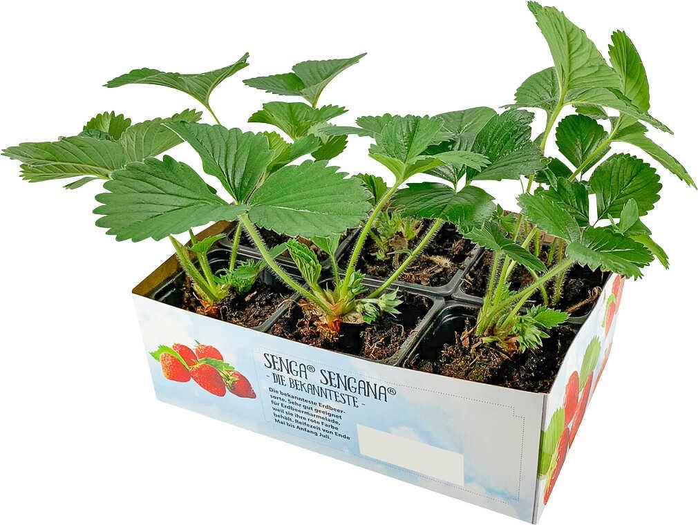 Abbildung des Angebots Erdbeerpflanzen 6er Pack